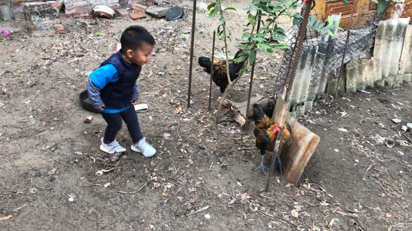 苗栗通霄 姑婆養的公雞